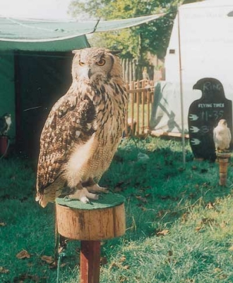 Falcons in the display area